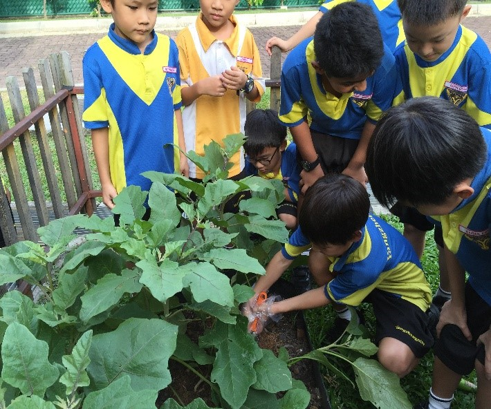 Harvesting the crops at the school eco-garden.jpg